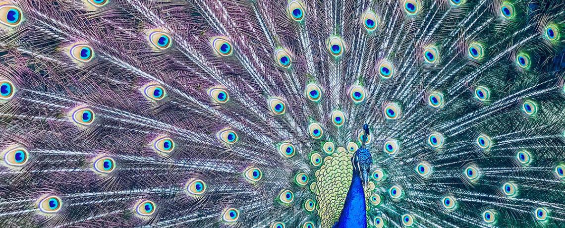 pavone simbolo vanità